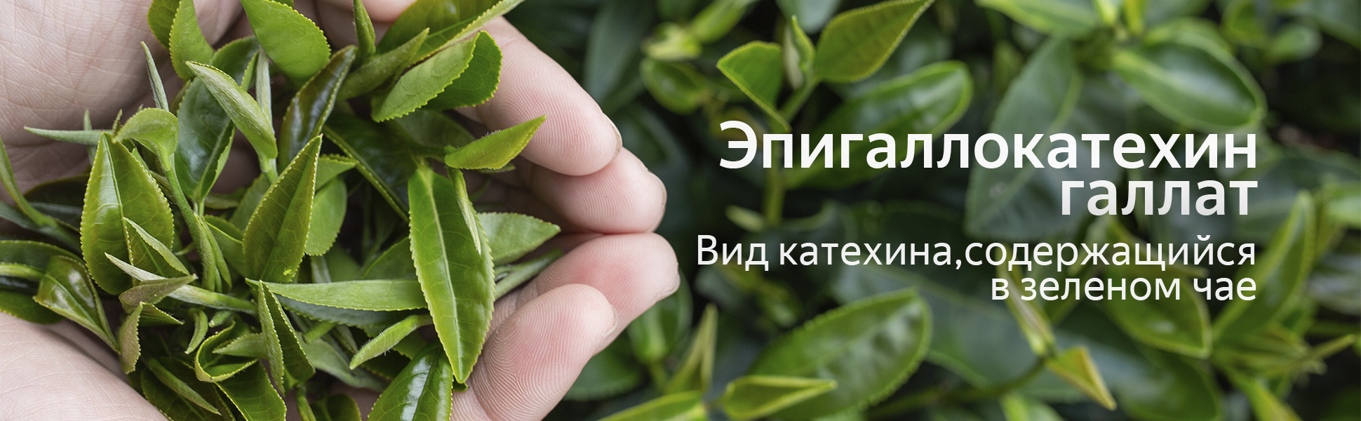 mladomaston_epigallokatexin